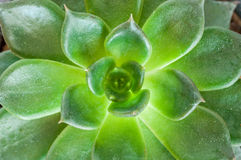 Schließen Sie oben von Kalanchoe-blossfeldiana Stockfotos