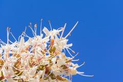 Schließen Sie oben von Kalifornien-Rosskastanienblumen Aesculus californica stockbilder