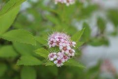 Schließen Sie oben von kleinen Blumen Prinzessin Spirea Stockbild