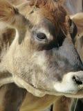 Schließen Sie oben von Kuh ` s Gesicht Stockfoto