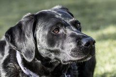 Schließen Sie oben von Labrador, das in der Sonne liegt Stockbilder