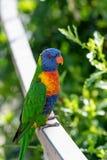 Schließen Sie oben von mehrfarbigem Regenbogen Lorikeet-Papagei Trichoglossus h Stockfoto