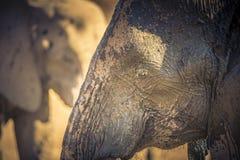 Schließen Sie oben von Muddy Head des afrikanischen Elefanten stockfotos