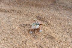 Schließen Sie oben von Palmato-Gecko, der direkt Kamera untersucht Stockfoto