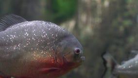 Schließen Sie oben von Piranha Serrasalmus nattereri stock video footage