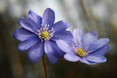 Schließen Sie oben von purpurroten Veilchenblumen Hepatica-nobilis, allgemeines Hepa Stockfotografie