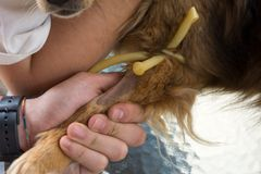 Schließen Sie oben von rasierter Tatze eines Hundes mit einer Aderpresse vor Blut C Stockfotografie