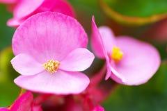 Schließen Sie oben von rosa Begonie semperflorens Stockbilder