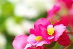 Schließen Sie oben von rosa Begonie semperflorens Lizenzfreie Stockfotografie