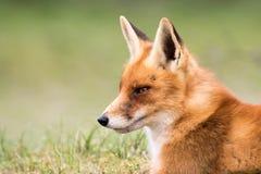 Schließen Sie oben von rotem Fox Stockfotografie