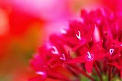 Schließen Sie oben von roten pentas Blumen Stockbilder