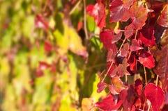 Schließen Sie oben von roter Virgina-Kriechpflanze stockfotos