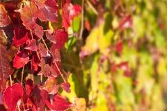 Schließen Sie oben von roter Virgina-Kriechpflanze lizenzfreie stockfotografie