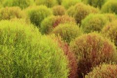 Schließen Sie oben von rotes und grünes Kochia oder Bassia scoparia Anlage Lizenzfreie Stockfotografie