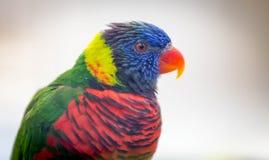 Schließen Sie oben von schönem Vogel lorikeet A stockbild