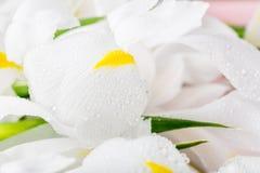 Schließen Sie oben von schöner weißer Iris Flowers Stockfotografie