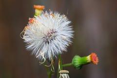 Schließen Sie oben von Schamhafte Sinnpflanze oder Mimose pudica Stockfoto