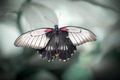 Schließen Sie oben von Schmetterling Rumanzovia Swallowtail lizenzfreie stockbilder