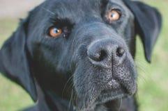 Schließen Sie oben von schwarzer Labrador-` s Nase lizenzfreie stockfotos