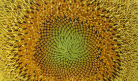 Schließen Sie oben von Sun-Blume Stockfoto