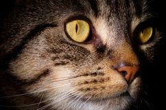 Schließen Sie oben von Tabby Cats Gesicht Lizenzfreie Stockfotos