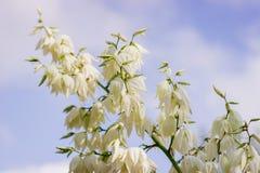 Schließen Sie oben von vielen Blumen der Yuccaanlage in der Blüte lizenzfreie stockfotografie