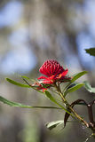 Waratah Blume (Telopea) Stockfotos