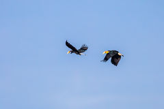 Schließen Sie oben von Wreathed Hornbill (Rhyticeros-undulatus) stockbilder