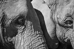 Schließen Sie oben von zwei Elefanten nebeneinander Stockbild