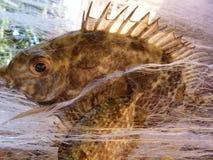 Schließen Sie oben von zwei Fischen, die in einem Netz gefangen werden Stockfoto