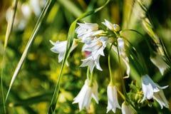 Schließen Sie oben von Zwiebel-Unkraut-Lauch triquetrum Wildflower, Eingeborener zum Mittelmeerraum; nicht gebürtig in Kalifornie lizenzfreie stockfotografie