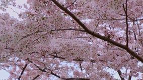 Schließung von Sakura-Kirschblossom in Japan stock video
