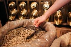 Schließen Sie oben von der kaukasischen Hand, die Nahrungsmittelschaufel mit Rohkaffee hält Goldene Bohnen Schneiden Sie Ansicht lizenzfreies stockfoto