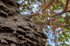 Schließen Sie oben von einem baumartigen Termitennest in einem Acajoubaum in der Rupununi-Savanne von Guyana stockbild