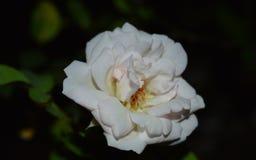 Schließen Sie oben von einer weißen Rose stockbilder