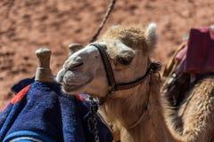 Schlie?en Sie herauf Schuss eines Kamels stockbild