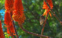 Schlie?en Sie oben von der orange Blume und dem Vogel der Aloe auf gr?nem Hintergrund lizenzfreies stockfoto