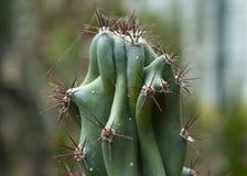 Schlie?en Sie oben von einem Kaktus lizenzfreie stockfotos