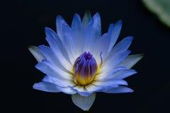 Schließen Sie herauf das Blau, das waterlily blühen oder Lotosblume Stockbild