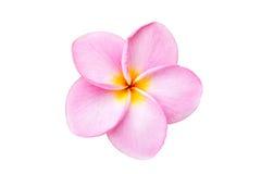 Schließen Sie herauf die rosa Frangipaniblume, die auf Weiß lokalisiert wird Lizenzfreie Stockbilder