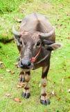 Schließen Sie herauf Gesicht des Büffels im potrait auf Feld Stockfotos