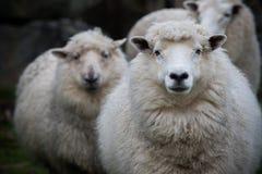 Schließen Sie herauf Gesicht von Neuseeland-Merinoschafen im Bauernhof Stockbild