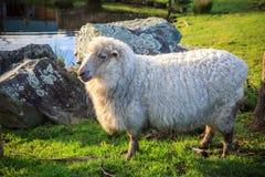 Schließen Sie herauf Neuseeland-Merinoschafe im ländlichen Bauernhof mit Viehhaltung Stockfotografie