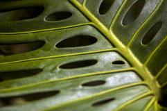 Schließen Sie herauf Schuss von Philodendron Stockfotografie
