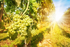 Schließen Sie oben auf grünen Trauben in einem Weinberg Stockbild
