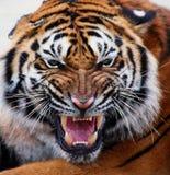 Schließen Sie oben vom Gesicht eines Tigers mit den bloßen Zähnen Stockbild