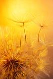 Schließen Sie oben vom Löwenzahn auf goldenem Hintergrund Stockfotos