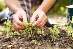 Schließen Sie oben vom Mann, der Sämlinge im Boden auf Zuteilung pflanzt Lizenzfreie Stockbilder
