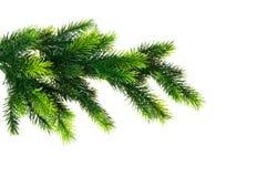 Schließen Sie oben vom Tannenbaumzweig Stockfoto