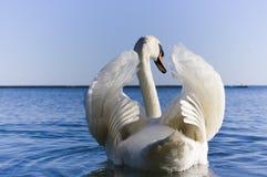 Schließen Sie oben von ausbreitenden Flügeln des weißen Schwans Stockbilder
